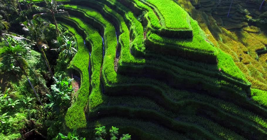 Famous attraction of Ubud. Rice terrace field plantation at Tegallalang. Aerial top view. Bali Indonesia | Shutterstock HD Video #20479312