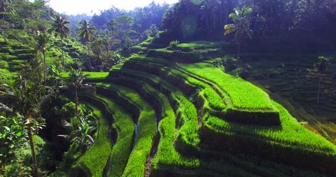 Famous attraction of Ubud. Rice terrace field plantation at Tegallalang. Aerial top view. Bali Indonesia