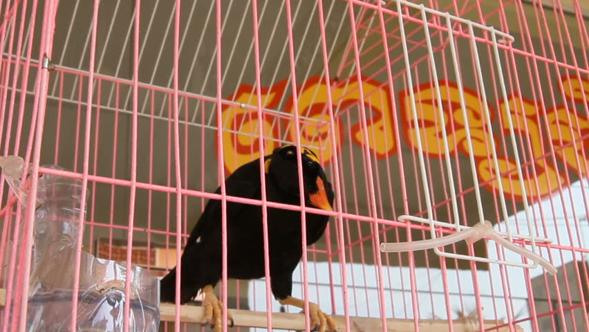 The common hill myna bird in cage. Cambodia. | Shutterstock HD Video #20489113