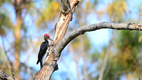 White-bellied Woodpecker (Dryocopus javensis) or Great black Woodpecker drilling
