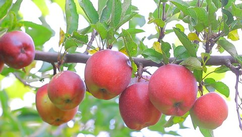 Red apple fruits hanging on apple tree in the orchard