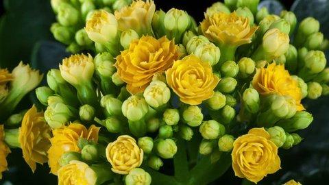 Yellow kalanchoe flower growing4k time-lapse. Studio shot.