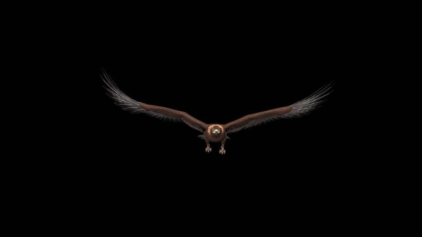 Male Of Golden Eagle Flying Aquila Chrysaetos
