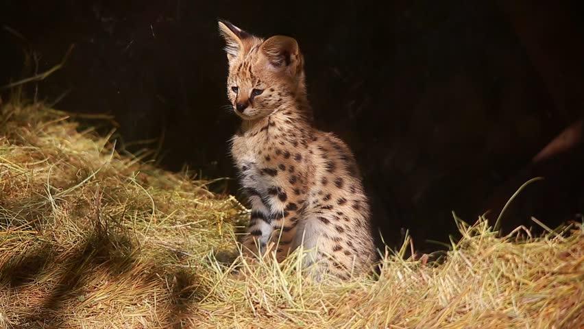 Header of serval