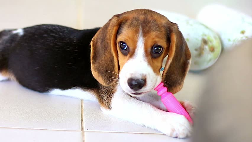 Most Inspiring Video Beagle Adorable Dog - 1  Picture_343818  .resize(height:160)