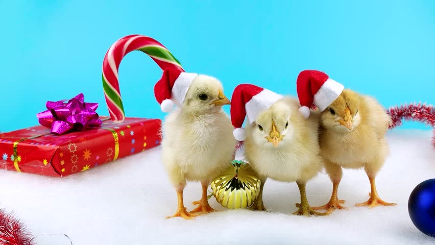 happy chinese new year 2017 concept beautiful young roosters in santa hats with christmas decoration on blue chroma key stock footage video 20633536 - Chinese New Year Video