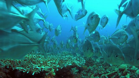 School of Blue Trevallies on a coral reef.  Carangidae - Carangoides ferdau, 4k footage