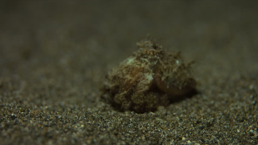 Small Octopus on sandy bottom. Catches some shrimps and fish. 4k footage #20660296