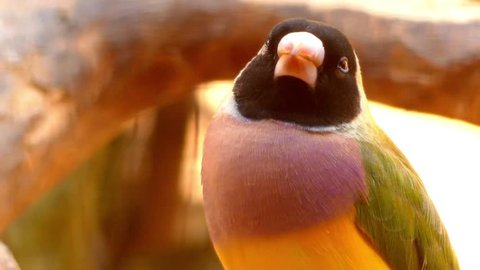 Gouldian finch (Erythrura gouldiae), also known as the Lady Gouldian finch, Gould's finch or the rainbow finch, is a colourful passerine bird endemic to Australia.