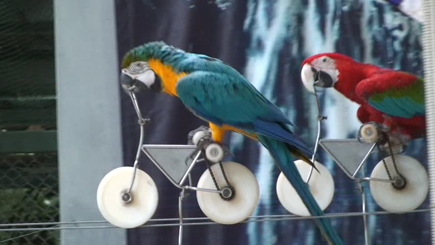 Funny race trained parrots on bikes. Thailand.