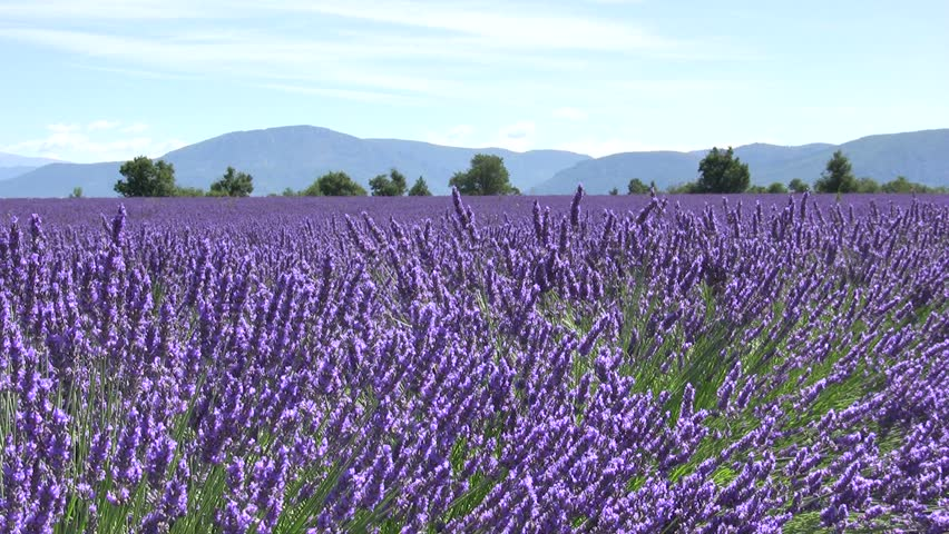 Lavender flower field with mountains. Provence. | Shutterstock HD Video #2080943