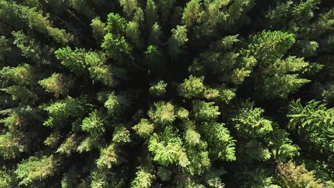 Dense coniferous forest top view aerial photography - a dense pine forest of pines and firs, with no spaces, very tight