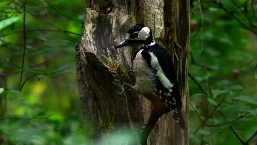 Great spotted woodpecker ( Dendrocopos major ) eats pine cone on an old tree.