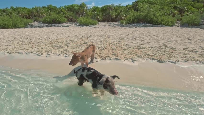 Wild swimming pigs on Big Majors Cay. Bahamas.
