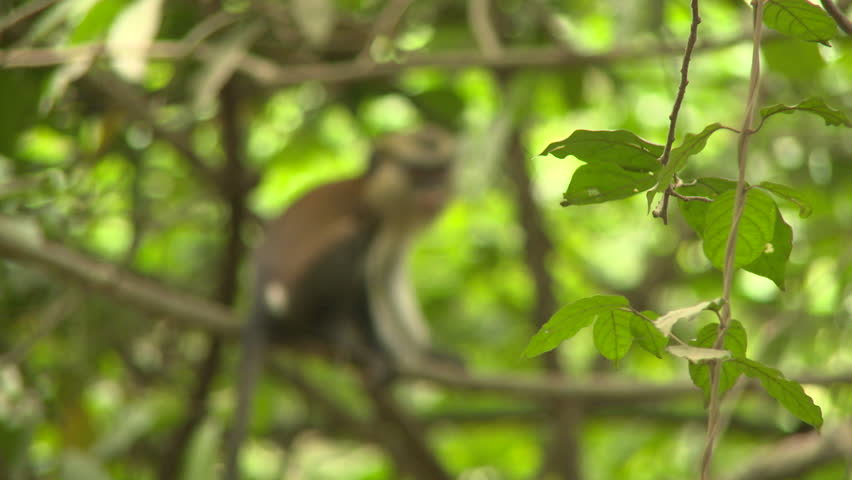 Osogbo, Nigeria - August 2013;Rack focus from green leaves to MS Mona monkey sitting in tree.