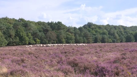 Shepherd with his flock of Veluwe Heath sheep in heathland, Ede, The Netherlands. The sheep are used for biotope conservation, they eat the tops from the heather and keep the plant short.