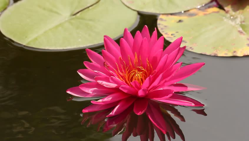 Hd0017beautiful Pink Lotus Flower Blossoming In The Natural Pond
