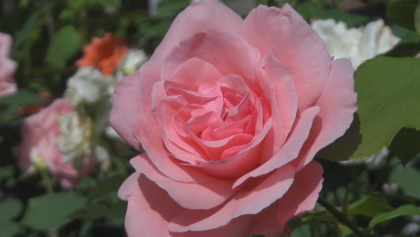 Beautiful pink rose | Shutterstock HD Video #2101106