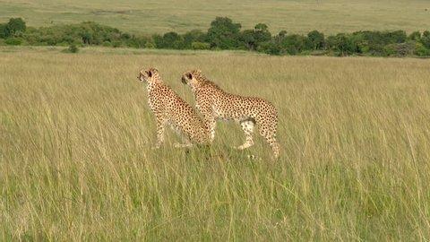 Cheetah (Acinonyx jubatus) family on a small hill looking for prey, Masai Mara