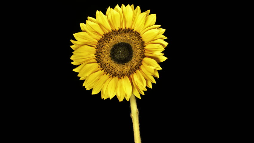 Medium static time lapse shot of a closed sunflower opening and blooming against a black background.