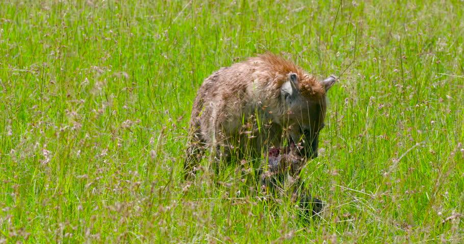Spotted Hyena Feeding On Bone; Maasai Mara Kenya Africa #21098446
