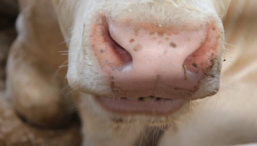 Close up of cow chewing