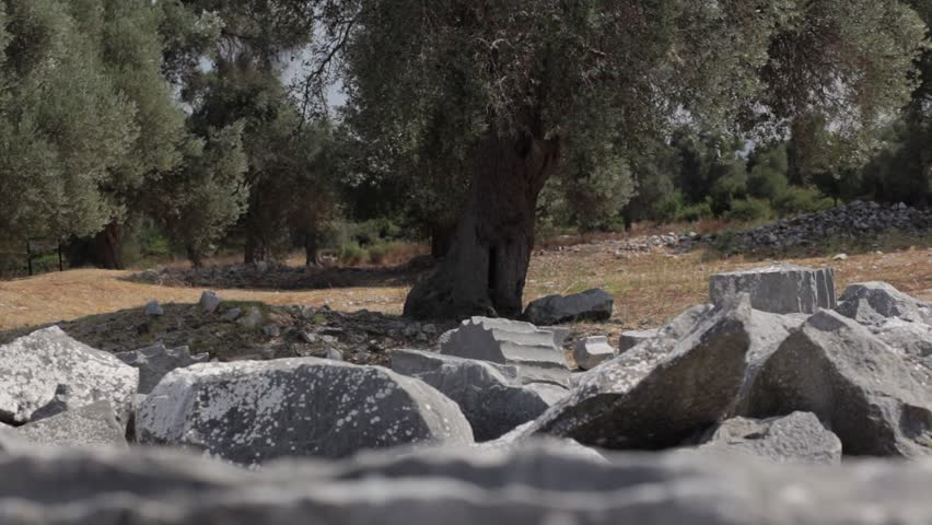 Olive Trees in the Ancient Greek City (Camera Dolly Shot)