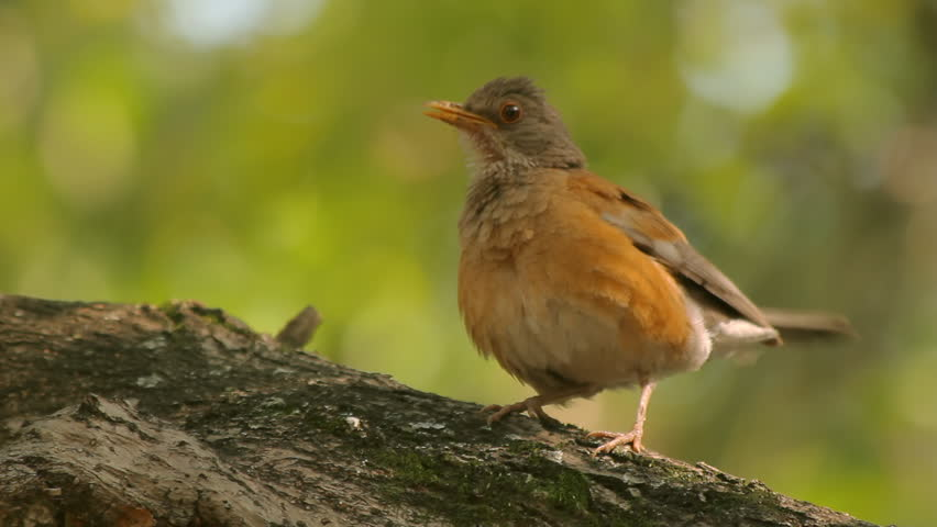 Robin Singing Three Takes (HD). Roufous-backed Robin bird in central Mexico singing to attract a mate. Three takes with ambient audio included. A strand of nest material is hanging on its beak. | Shutterstock HD Video #2127896