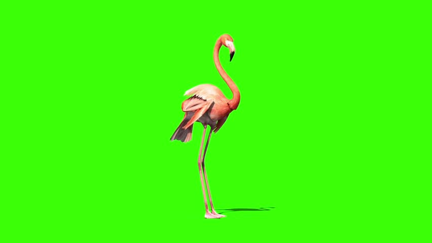 Pink Flamingo Eats Perspective Green Screen