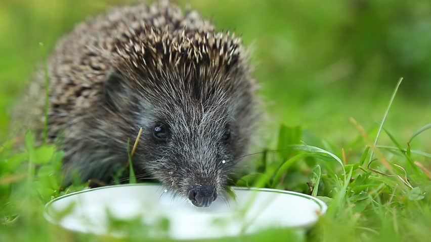 Happy Hedgehog drinking milk from a saucer white on the green grass.