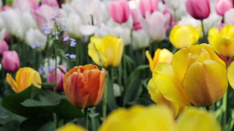 Close Up Of Bright yellow and red Tulips Swaying In The Wind, floral Decoration at the tulip festival in famous city park, Saint-Petersburg, Russia, may 2016