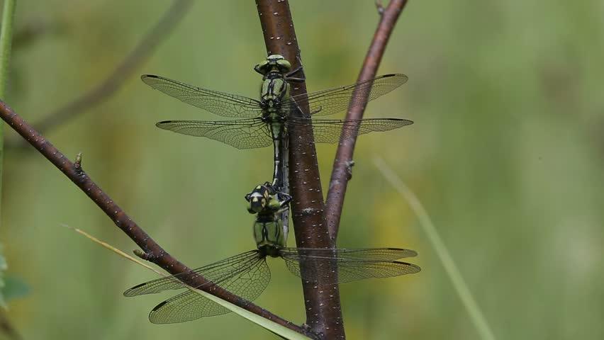 A pair of dragonflies copulates | Shutterstock HD Video #21528736