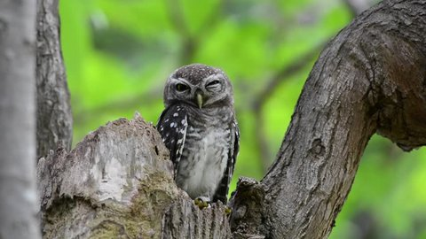 Juvenile owl coming out from hole nest tree squinting eyes to camera.   Sleepy Spotted owlet .