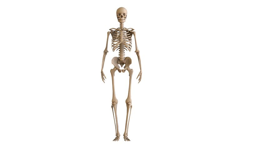 the layout of the human skeleton. skeleton on white background. 3d, Muscles