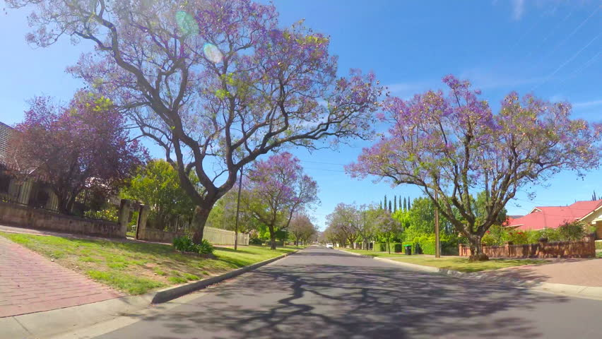 Jacaranda purple flowering tree lined streets of springtime Adelaide, South Australia, vehicle POV, driving along Allinga Avenue and Cator Street, Glenside, 4k real time.