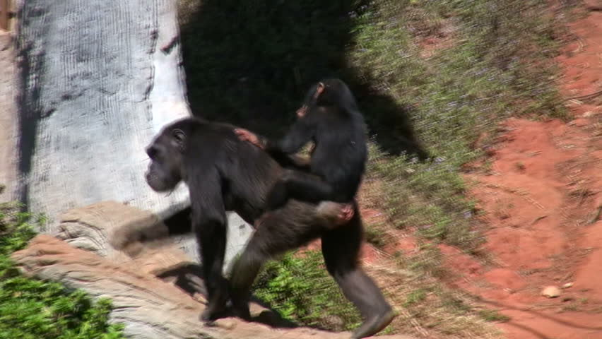 Endangered primate chimpanzee mother carries cute baby chimp ride on her back in African game preserve
