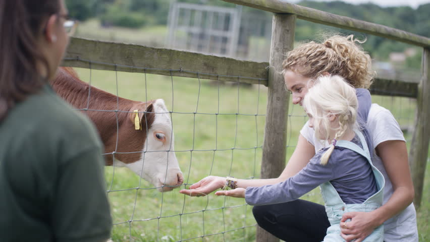 4K Mother and daughter at community farm, feeding young calf and talking to keeper (UK-Oct 2016)