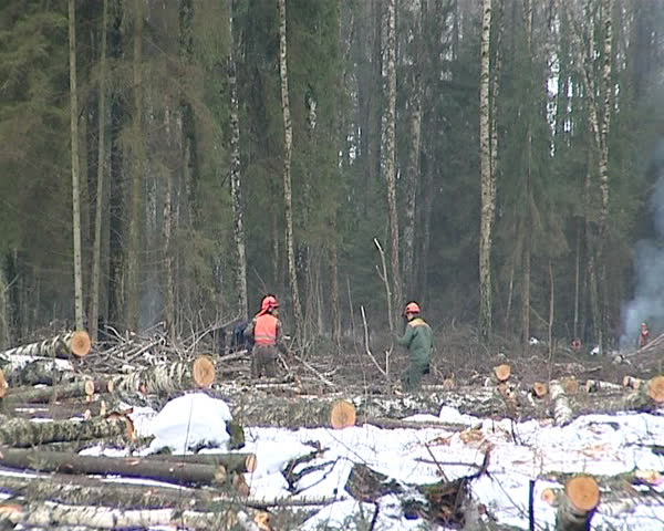 Cut Forest Area And Loggers Cutting Birch Trees Timber