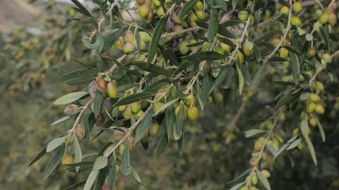 An Olive Tree laden with Olives in Crete, Greece
