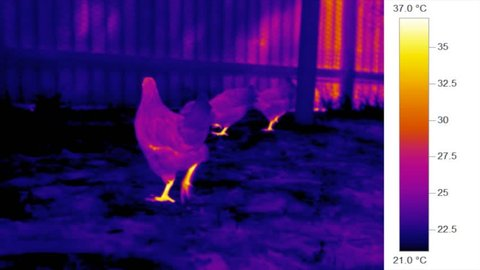 Thermal heat imaging camera - infrared chickens