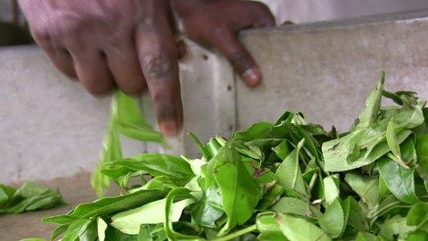 A man picks up fresh tea leaves in a factory in Sri Lanka
