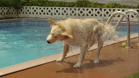 A wet golden retreiver shakes itself dry in slow motion.