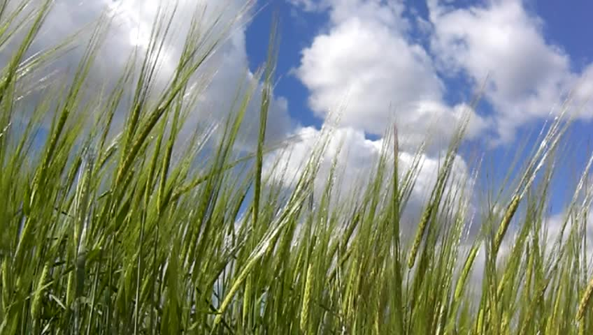 Green barley with blue sky
