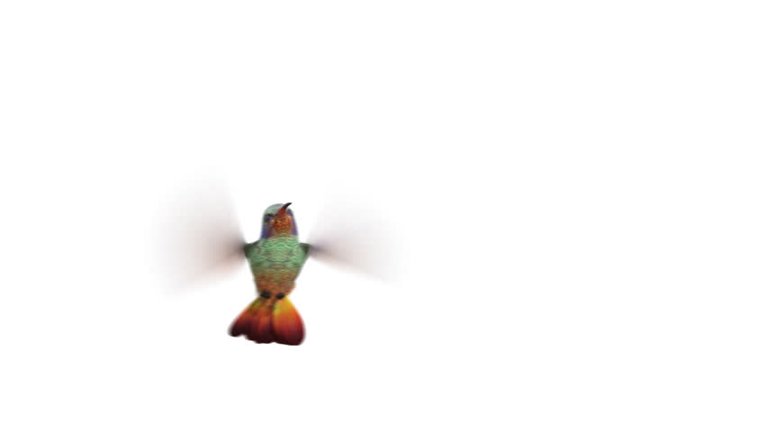 Humming bird, four 3d animations. alpha-channel is integrated into the footage, you can easily change the background. copy bird layer if you want to make the wings more sharp | Shutterstock HD Video #22020796