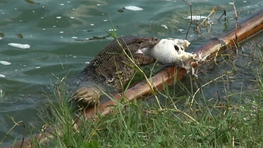 Two Asian Water Monitor lizards (Varanus salvator), fight over a large  portion of fish. The first tries to run off with the booty, but quickly  gives in to ...