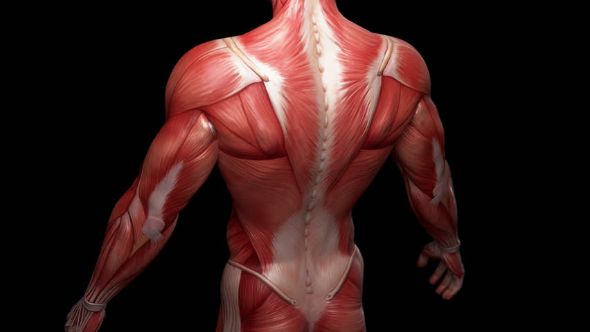 Muscular System Upper Body Animation With Alpha Royalty Free Video