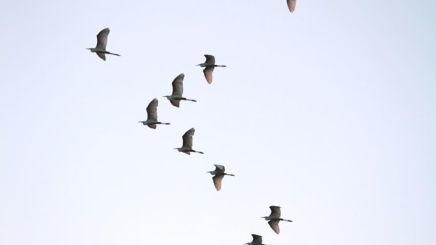 Egrets fly during the migration,great egret, white, wild birds/Egrets fly during the migration,great egret, white, wild birds