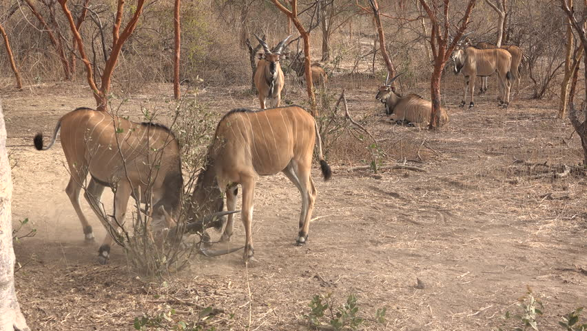 Two greater kudu fighting - Africa
