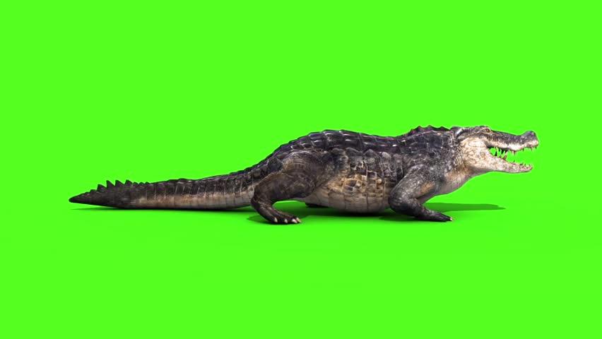 Alligator Crocodile Reptile Static Walks Side Loop Green Screen