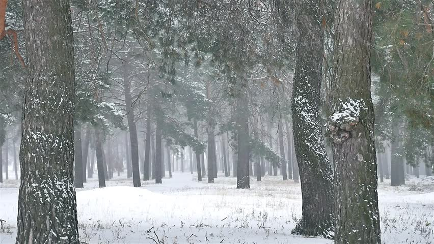 Snowstorm Blizzard The Woods Snowing Winter, Christmas Nature Tree And Pine  Forest Landscape   HD